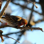 House finch in our backyard.