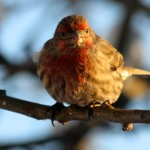 House Finches wintering at our bird feeder in north Edmonton.