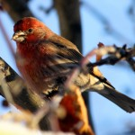 House finch, the beautiful red colouration brightens the backyard on the coldest of days.