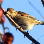 A female House Finch.